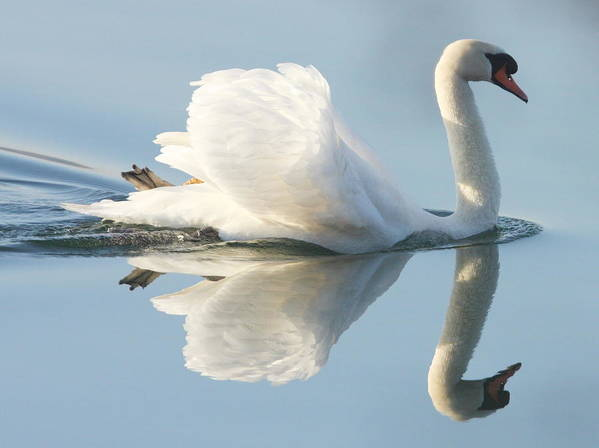 Horizontal Print featuring the photograph Graceful Swan by Andrew Steele