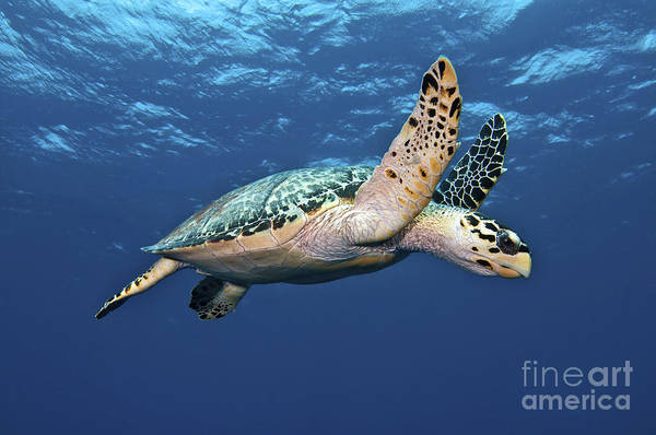 Caribbean Print featuring the photograph Hawksbill Sea Turtle In Mid-water by Karen Doody