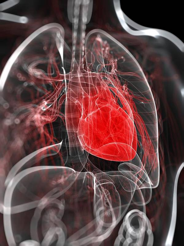 Vertical Print featuring the digital art Heart Anatomy, Artwork by Sciepro