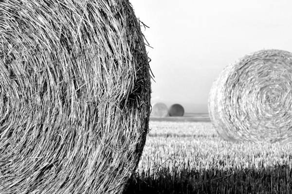 Black And White Print featuring the photograph In The Hay -black And White by Dana Walton