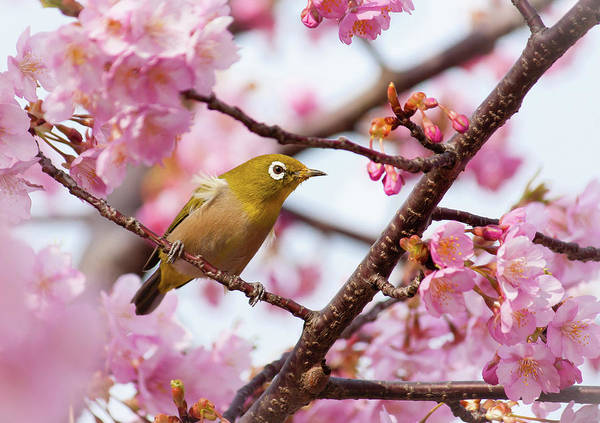 Horizontal Print featuring the photograph Japanese White-eye On Cherry Blossoms by David A. LaSpina