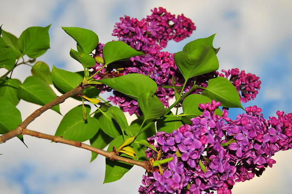 Flower Print featuring the photograph Lilacs by Catherine Reusch Daley