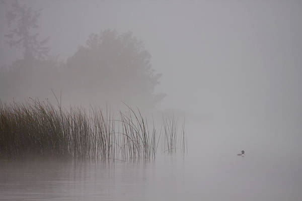Loons Print featuring the photograph Loon In Morning Fog by Naman Imagery