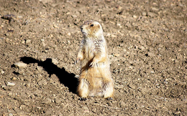 Prairie Dog Print featuring the photograph Mean Old Prairie Dog by Christopher Wood