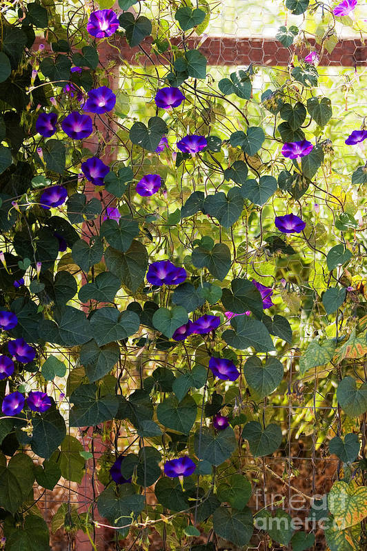 Purple Print featuring the photograph Morning Glories by Margie Hurwich