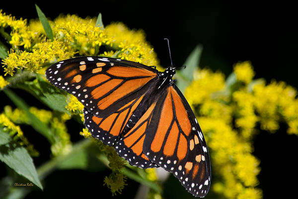 Orange Monarch Butterfly Art Print by Christina Rollo