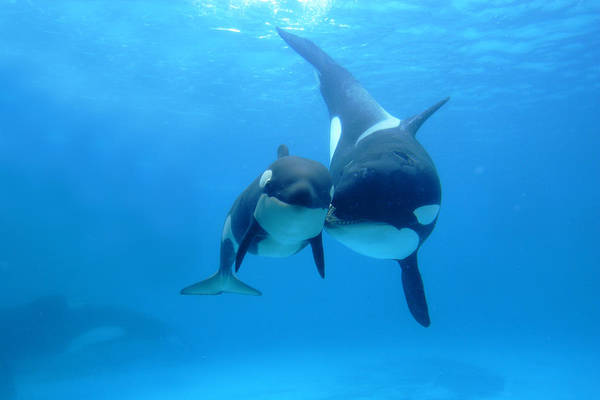 Orca Orcinus Orca Mother And Newborn Print by Hiroya Minakuchi