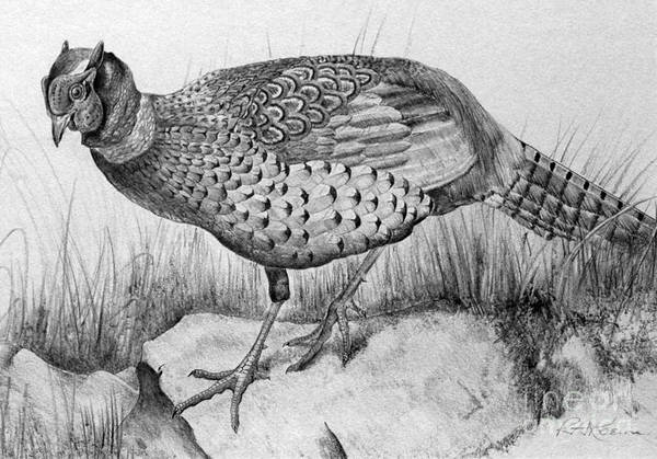 Pheasant Print featuring the drawing Pheasant In The Wild by Roy Anthony Kaelin