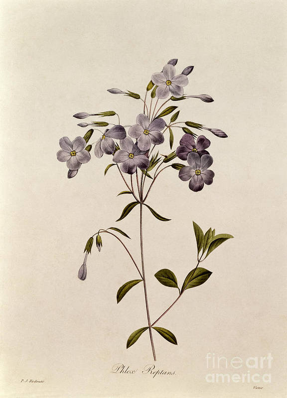 Phlox Print featuring the drawing Phlox Reptans by Pierre Joseph Redoute