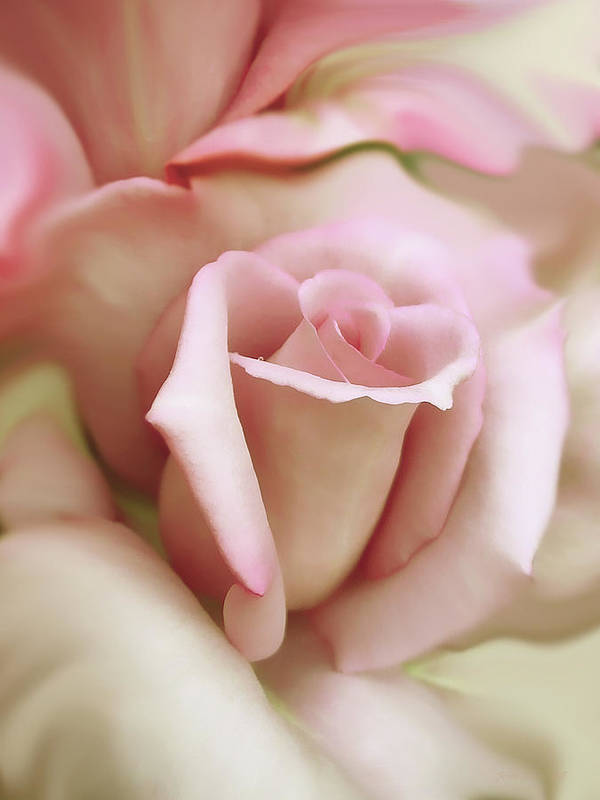 Rose Print featuring the photograph Pink And Ivory Rose Portrait by Jennie Marie Schell