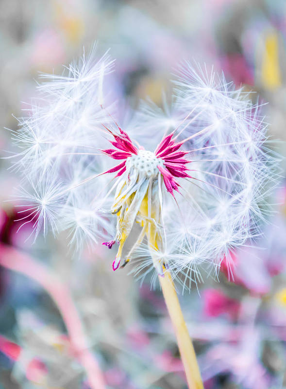 Pink Print featuring the photograph Pink Dandelion by Parker Cunningham