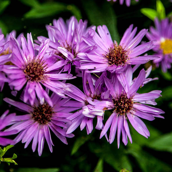 Flower Print featuring the photograph Purple Aster Blooms by John Haldane