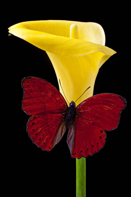 Red Butterfly Print featuring the photograph Red Butterfly And Calla Lily by Garry Gay