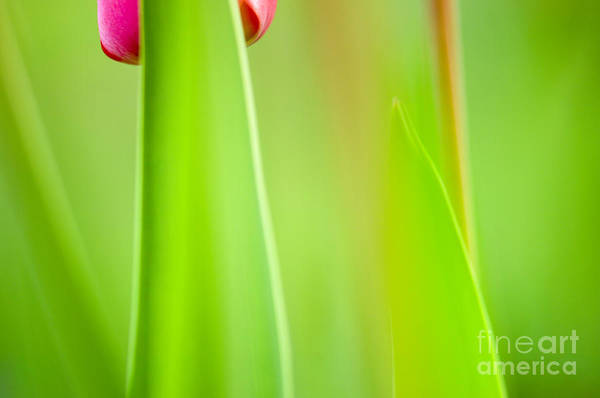 Flower Print featuring the photograph Red Tulip by Silke Magino