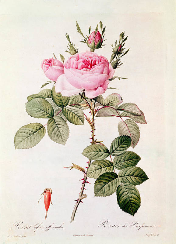 Rosa Print featuring the painting Rosa Bifera Officinalis by Pierre Joseph Redoute