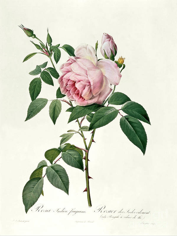 Rosa Print featuring the drawing Rosa Chinensis And Rosa Gigantea by Joseph Pierre Redoute