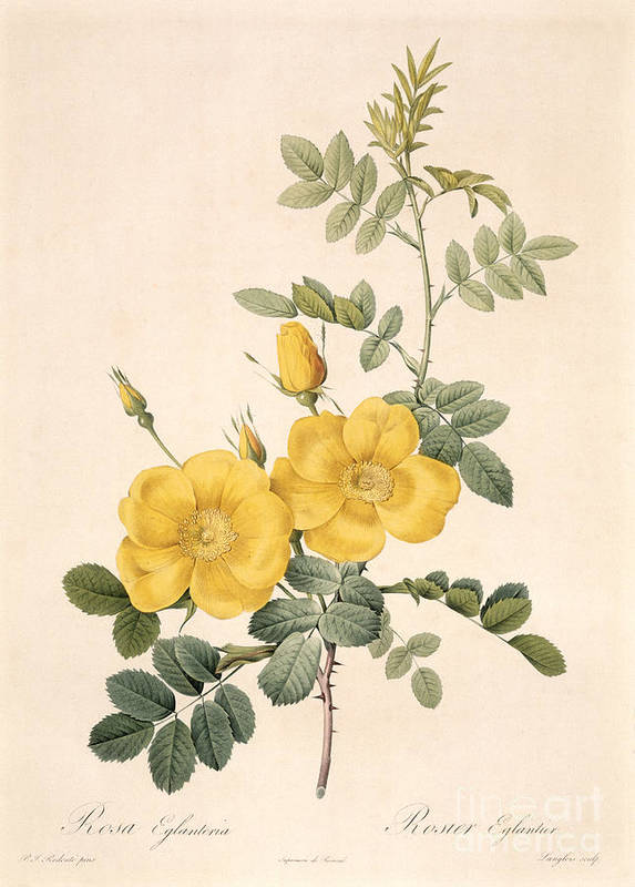 Rosa Print featuring the drawing Rosa Eglanteria by Pierre Joseph Redoute