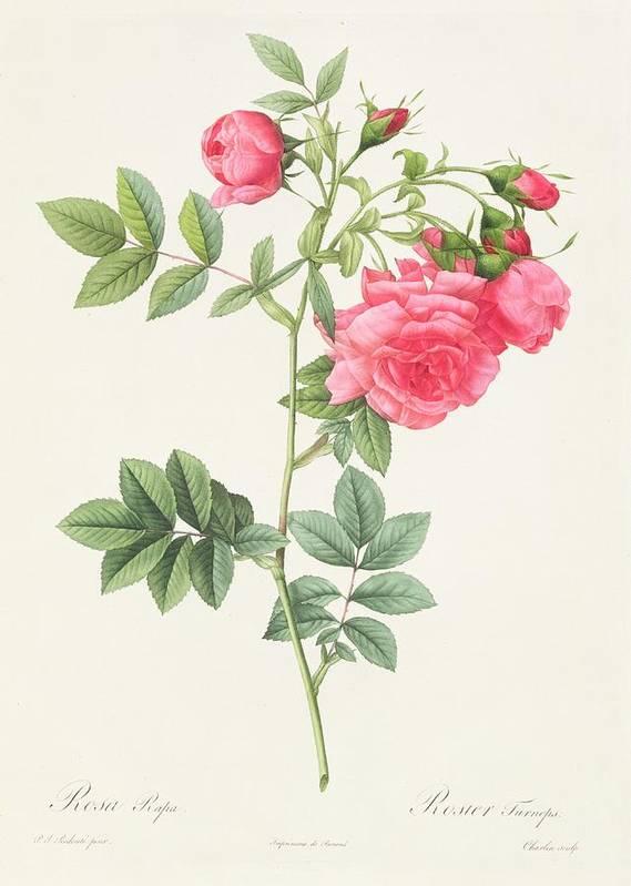 Rosa Print featuring the drawing Rosa Pimpinellifolia Flore Variegato by Pierre Joseph Redoute