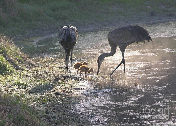 Sandhill Chick Print featuring the photograph Sandhill Crane Family In Morning Sunshine by Carol Groenen