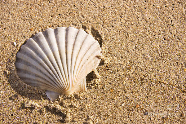 Aquatic Print featuring the photograph Sandy Shell by Jorgo Photography - Wall Art Gallery
