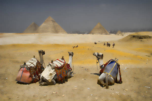Egypt Print featuring the photograph Scenic View Of The Giza Pyramids With Sitting Camels by David Smith
