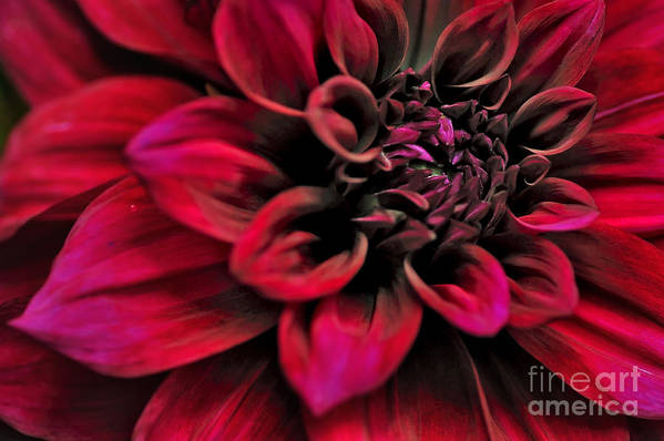 Photography Print featuring the photograph Shades Of Red - Dahlia by Kaye Menner