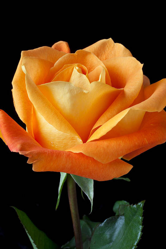 Single Print featuring the photograph Single Orange Rose by Garry Gay