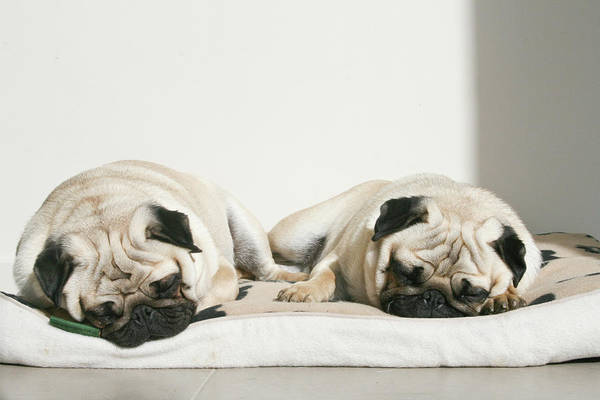 Horizontal Print featuring the photograph Sleeping Pug Dogs by Elli Luca