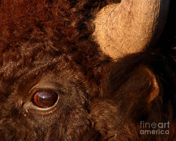 Buffalo Print featuring the photograph Sunset Reflections In The Eye Of A Buffalo by Max Allen