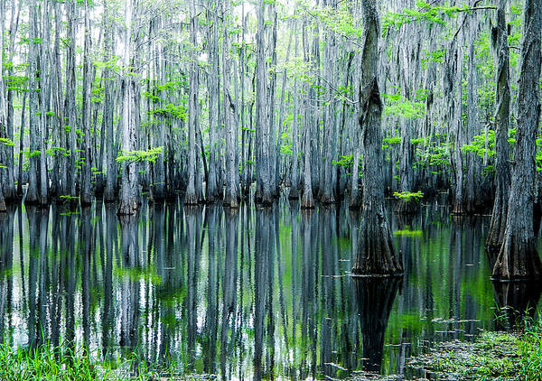 Algae Print featuring the photograph Swamp In Louisiana by Ester Rogers