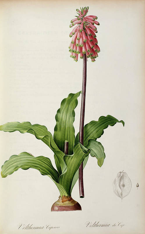 Veltheimia Print featuring the painting Veltheimia Capensis by Pierre Joseph Redoute