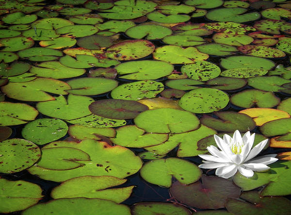 Green Print featuring the photograph Water Lily by Elisabeth Van Eyken