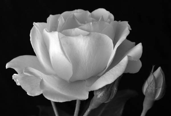 White Rose Print featuring the photograph White Rose by Terence Davis
