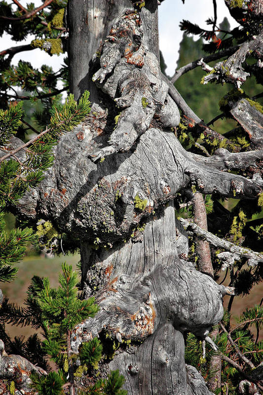 Pines Print featuring the photograph Whitebark Pine Tree - Iconic Endangered Keystone Species by Christine Till