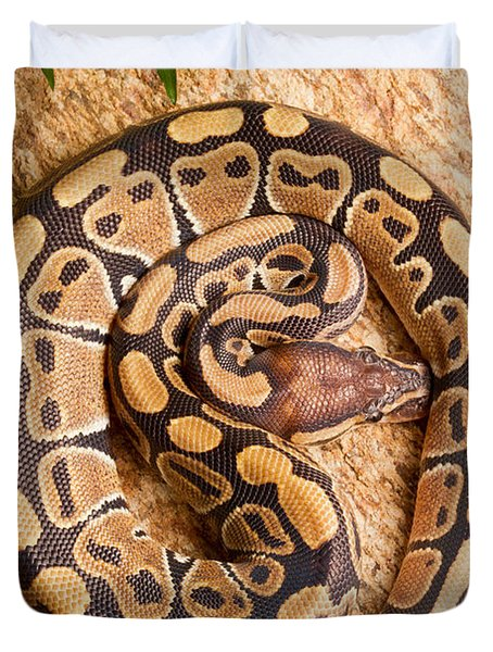 Ball Python Python Regius Coiled On Rock Duvet Cover by David Kenny