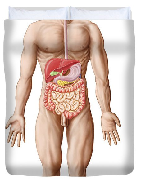 Anatomy Of Human Digestive System, Male Duvet Cover by Stocktrek Images