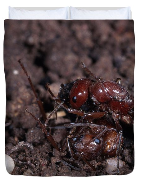 Ant Queen Fight Duvet Cover by Gregory G. Dimijian, M.D.