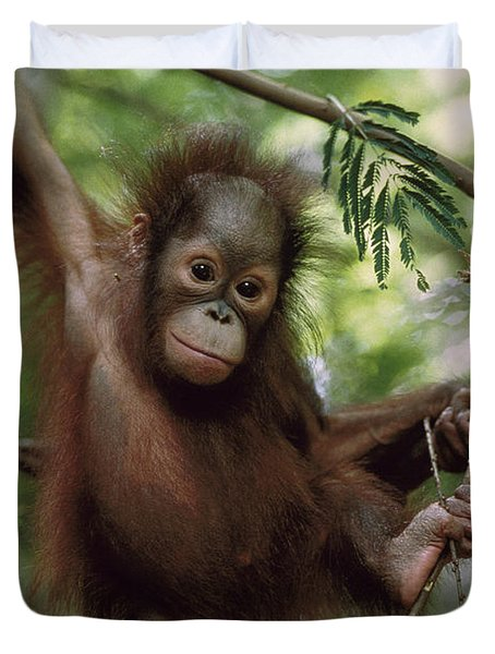 Orangutan Infant Hanging Borneo Duvet Cover by Konrad Wothe