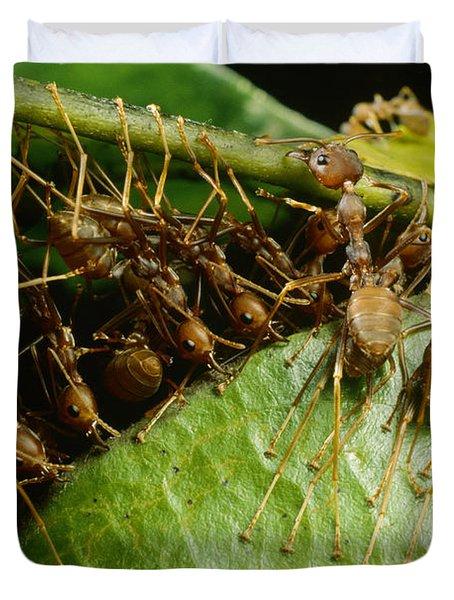 Weaver Ant Group Binding Leaves Duvet Cover by Mark Moffett
