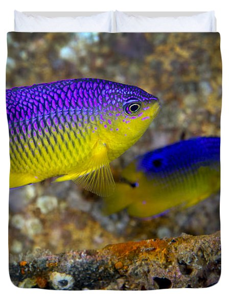 A Pair Of Juvenile Cocoa Damselfish Duvet Cover by Michael Wood
