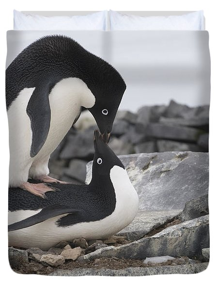 Adelie Penguins Mating  Antarctica Duvet Cover by Flip Nicklin