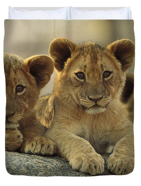 African Lion Three Cubs Resting Duvet Cover by Tim Fitzharris