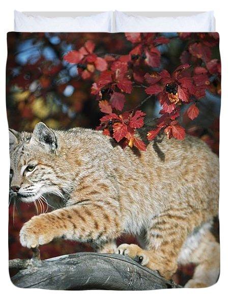 Bobcat Walks On Branch Through Hawthorn Duvet Cover by David Ponton