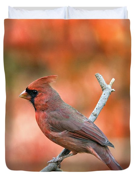 Male Northern Cardinal - D007810 Duvet Cover by Daniel Dempster