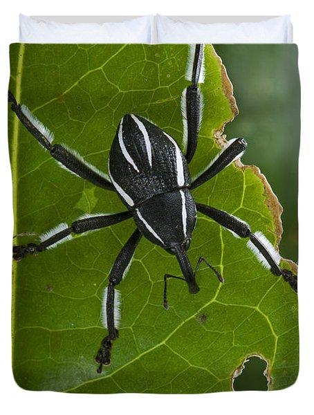 Spider Weevil Papua New Guinea Duvet Cover by Piotr Naskrecki