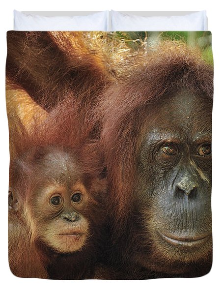 Sumatran Orangutan Pongo Abelii Mother Duvet Cover by Thomas Marent