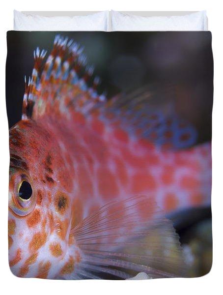 Pixy Hawkfish, Kimbe Bay, Papua New Duvet Cover by Steve Jones