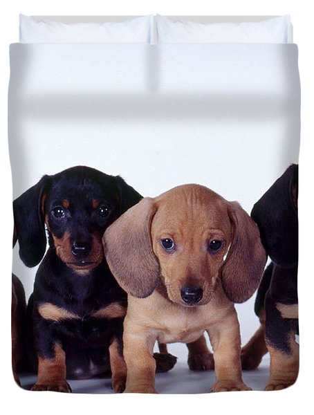 Dachshund Puppies  Duvet Cover by Carolyn McKeone and Photo Researchers