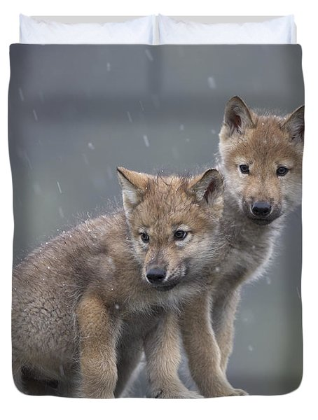 Gray Wolf Canis Lupus Pups In Light Duvet Cover by Tim Fitzharris