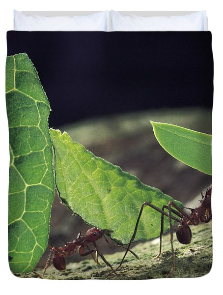 Leafcutter Ant Atta Cephalotes Workers Duvet Cover by Mark Moffett